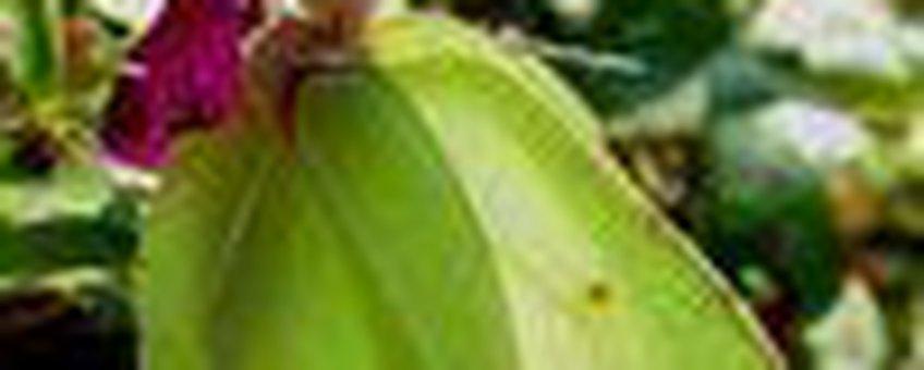citroenvlinder klein