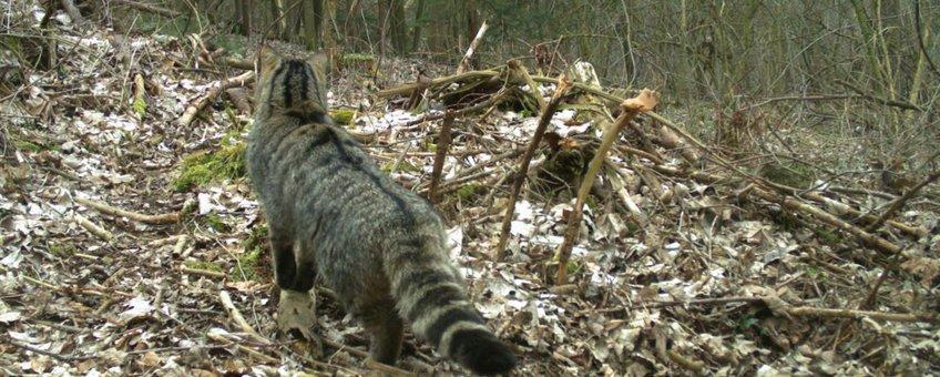 Wilde kat in Voeren