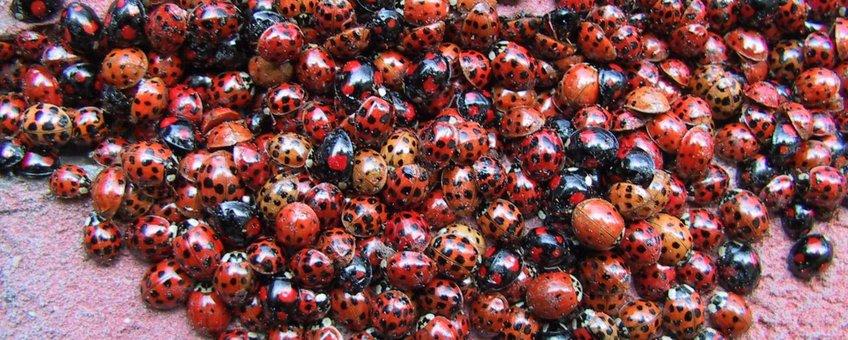 Overwintercluster veelkleurig Aziatisch lieveheersbeestje