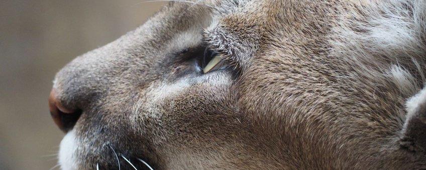 Poema; Mountian lion