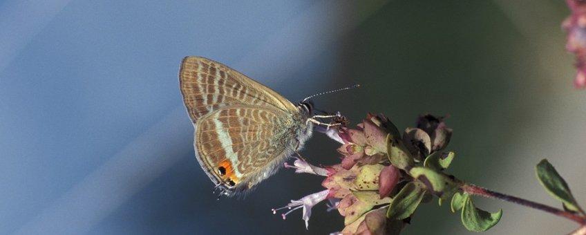 Lampides boeticus. Tijgerblauwtje