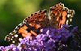 distelvlinder vlinderstruik klein