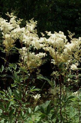 Filipendula ulmaria 15, Moerasspirea, meadow sweet