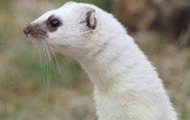 witte hermelijn Rollin Verlinde