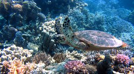 Schildpad en koraal