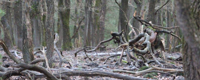 steenmeel in oud eikenbos op de Veluwe