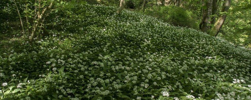 Allium ursinum. Daslook
