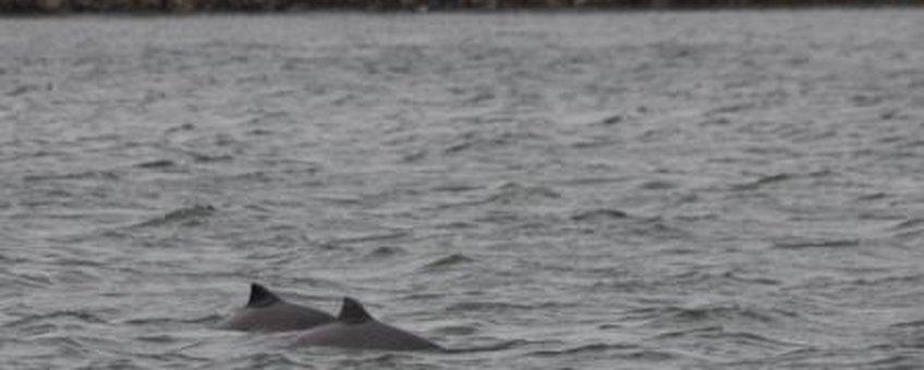 Twee bruinvissen in de Oosterschelde