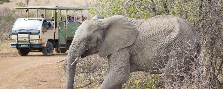Een olifant loopt langs een safaritour in Zuid-Afrika