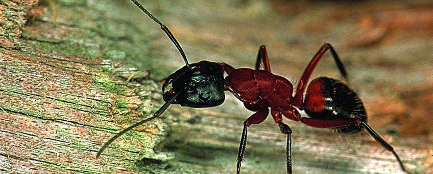 Camponotus ligniperda, werkster
