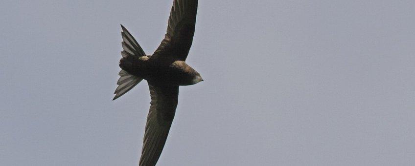 Gierzwaluw Saxifraga