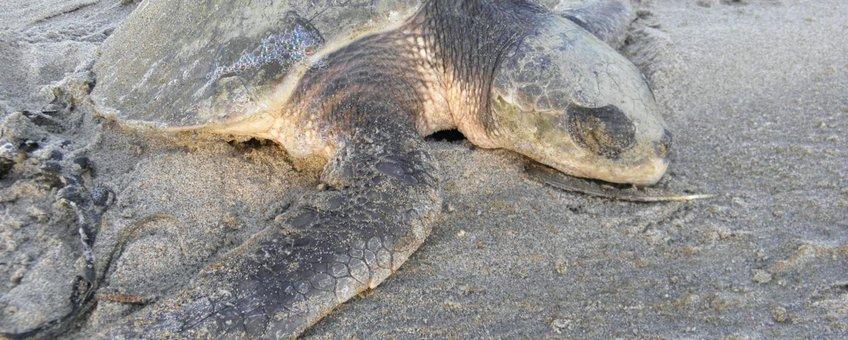 Flip aangespoeld op het strand in Monster december 2011