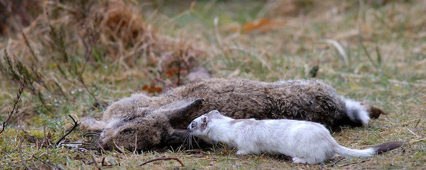 Hermelijn met prooi (volwassen konijn)