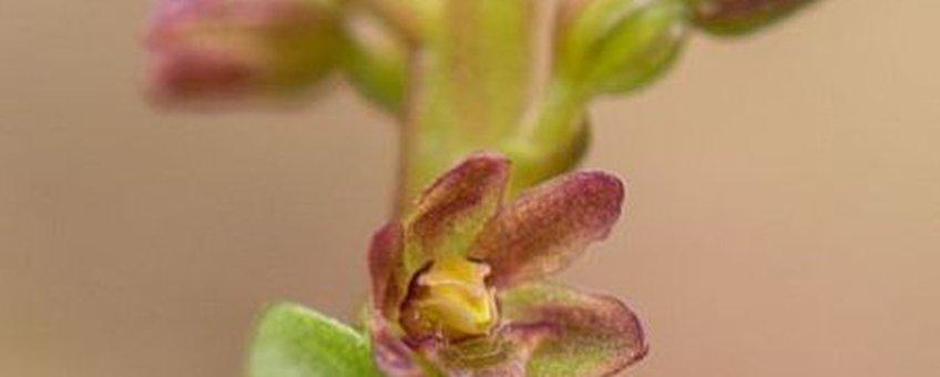 Kleine keverorchis (Neottia cordata)