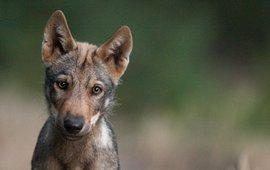 Jonge wolvenpup uit Duitsland_lead