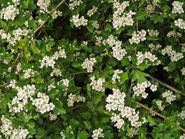 Crataegus laevigata, Tweestijlige meidoorn, bloei Woodland hawthorn