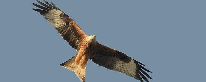 Een overtrekkende Rode Wouw toont de kenmerkende gevorkte staart, oranjebruine kleur en de witte vlekken in de vleugels (Foto: Dieder Plu)
