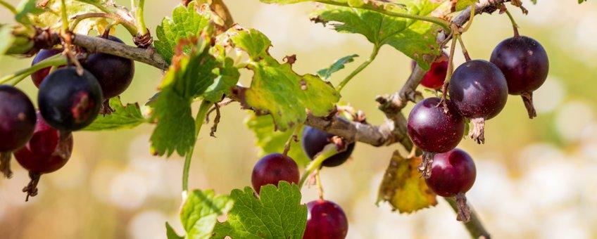 Slabroek streekboerderij Uden bessen voedselbos