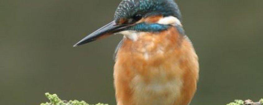 IJsvogel. Copyright Vogelbescherming Nederland