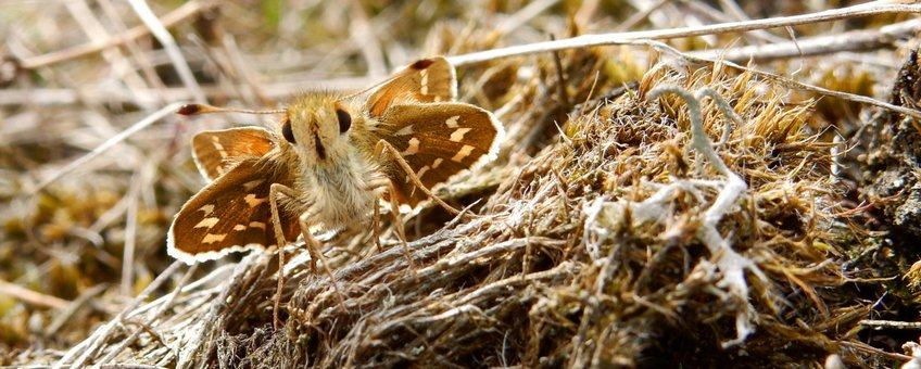 kommavlinder - primair
