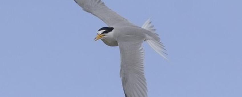 Amerikaanse dwergstern (Least Tern) Sternula antillarum