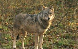 Wolf Bialowieza 2006 VOOR EENMALIG GEBRUIK