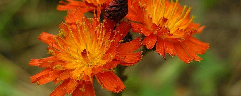 Oranje havikskruid Saxifraga