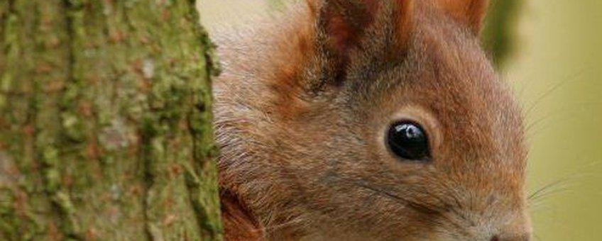Sciurus vulgaris. Eekhoorn