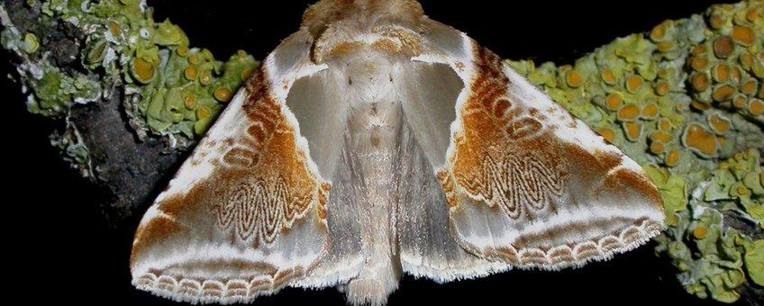 Vuursteenvlinder