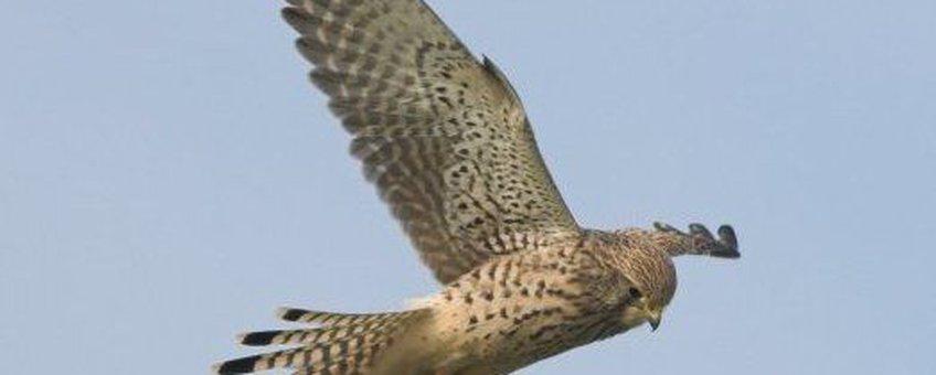 Falco tinnunculus. Torenvalk. Volwassen vrouwtje