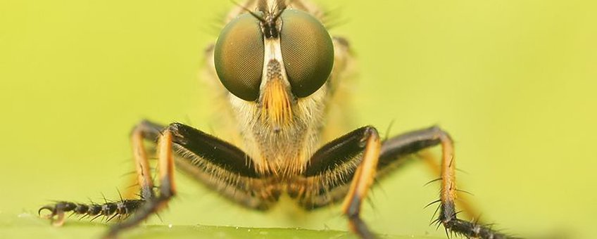 2 van de 410 soorten: Bosrandroofvlieg Neoitamus cyanurus en Tenthredo livida