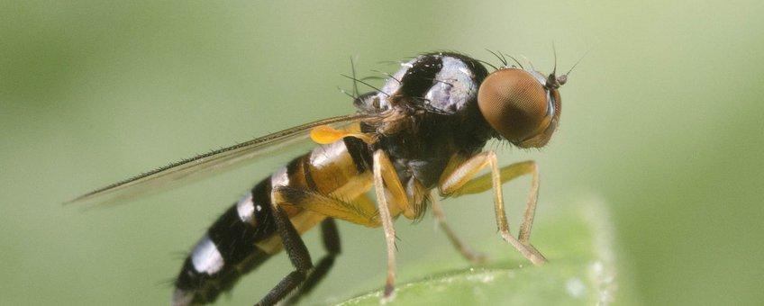 Het kleurrijke vrouwtje van de gevlekte zilvervlekbreedvoet (Callomyia speciosa) .