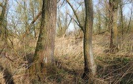 Oud wilgenbos in de Biesbosch, groeiplaats van Glimmend schaduwmos