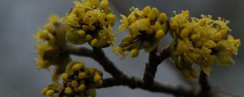 Gele kornoelje Foto: Wout van der Slikke