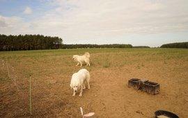 Effectieve preventie bij schapen boer in Sachsen-Anhalt: flexnetten op stroom en goed opgeleide kuddebewakingshonden die het opnemen voor de schapen