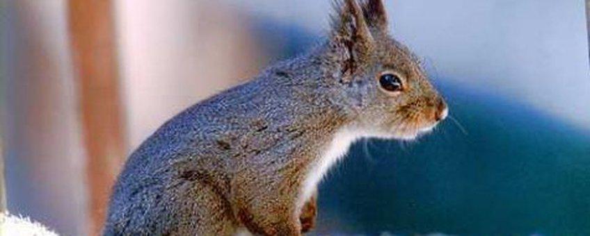 Japanse Eekhoorn (Sciurus lis)creative commons