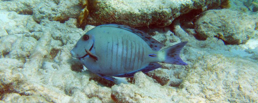 A doctorfish infected with dermal parasites