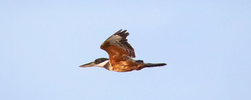 Ringed Kingfisher in flight
