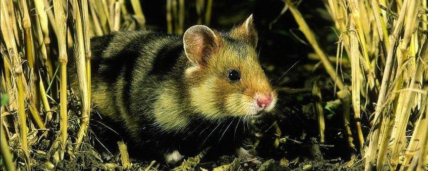 Europese hamster