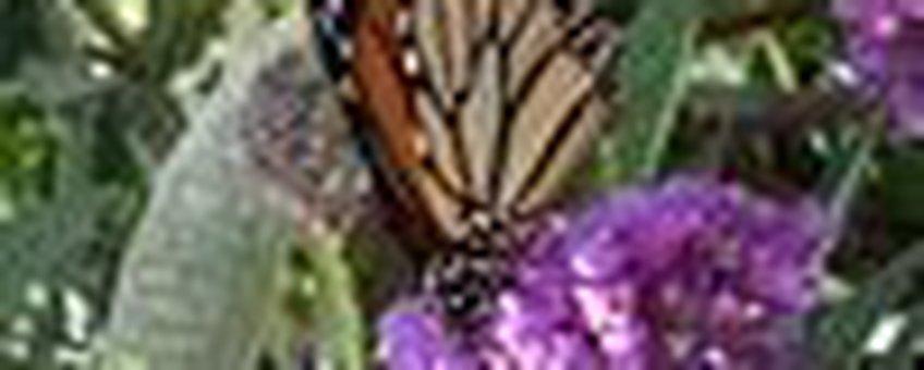 Monarchvlinder klein