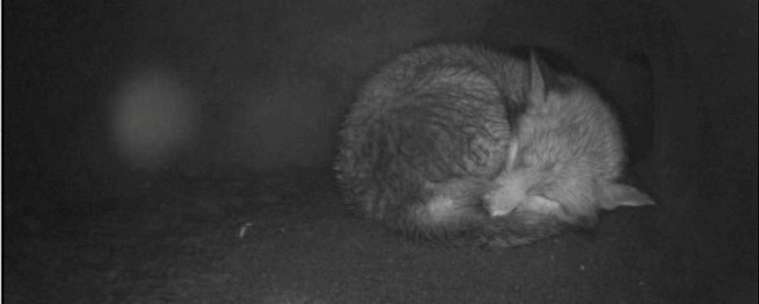 Slapende vos in vossenburcht in Oostvaardersplassen