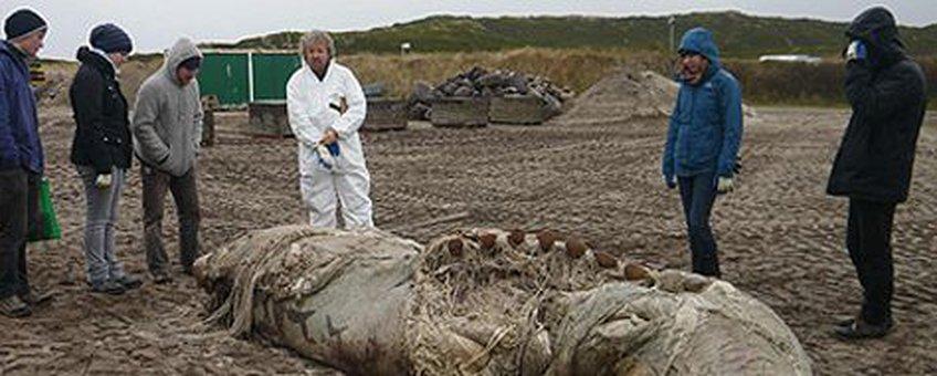 voor eenmalig gebruik, het dwergvinviskarkas op Sylt