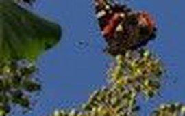 klimopatalanta klein
