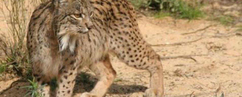 spaanse lynx