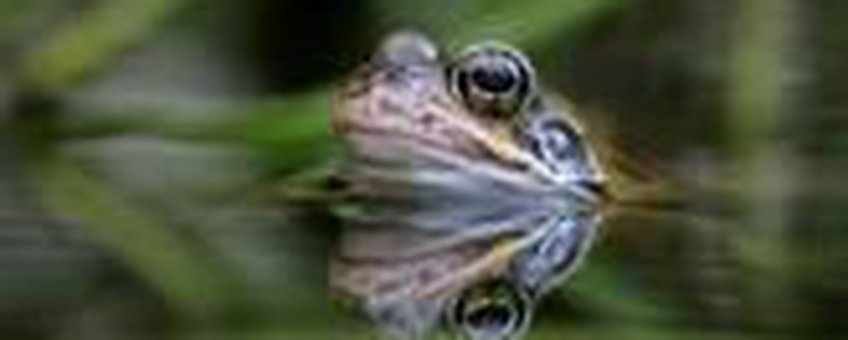 Bruine kikker. Foto: Axel Wiewel, Natuurmonumenten