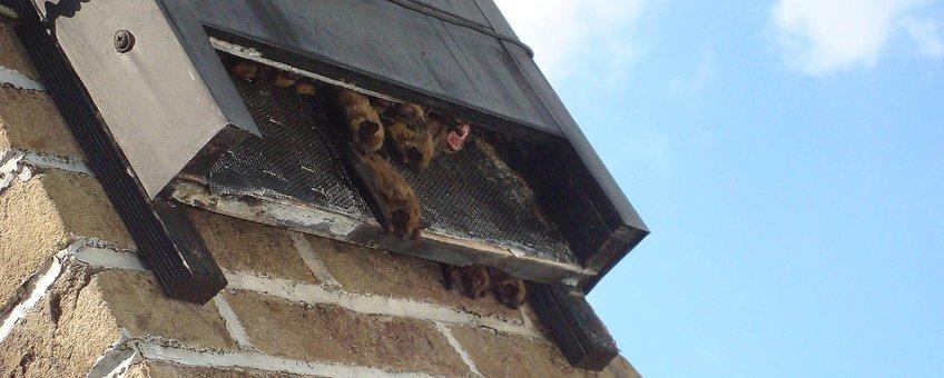 Vleermuizen zoeken buiten een vleermuiskast naar koelte en frisse lucht