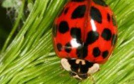 Veelkleurig Aziatisch lieveheersbeestje Nina Fatouros, www.bugsinthepicture.com
