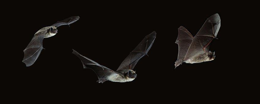 Vliegende tweekleurige vleermuizen