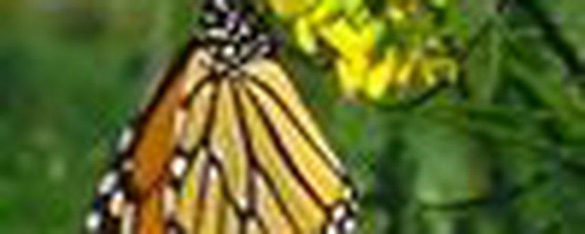 monarch klein