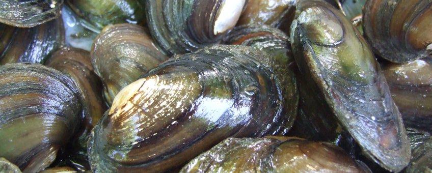 De Bataafse stroommossel is een zeldzame riviermossel met een boeiende levenswijze. EENMALIG GEBRUIK